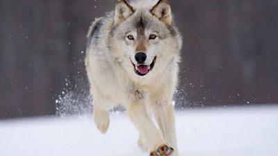 lobo perro