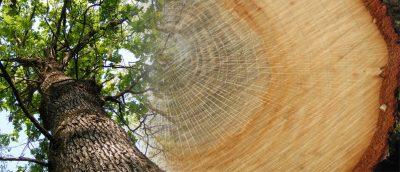 roble madera