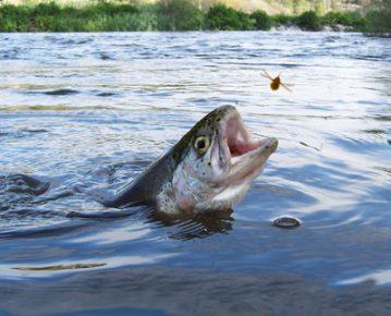 trucha pesca 1